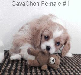 CavCF1- 4