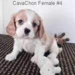 CavCF4- 2