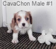 CavCM1- 11