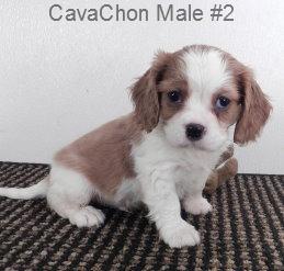 CavCM2- 3