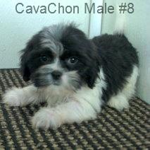 CavChnM8- 8