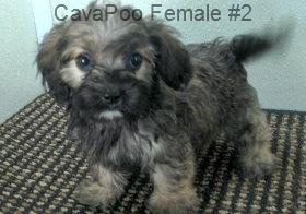CavPooF2- 9