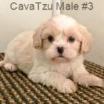 CavaTzuM3- 1