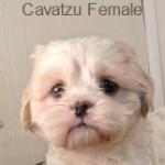 CavaTzuf- 7