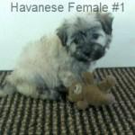 HavF1- 1