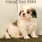 HavaChonm4- 4