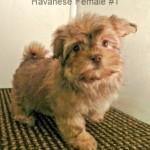 HavaneseF1- 6