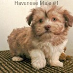 HavaneseM1- 5
